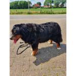 Ai´m Swissy Bear van Huize Limburgia